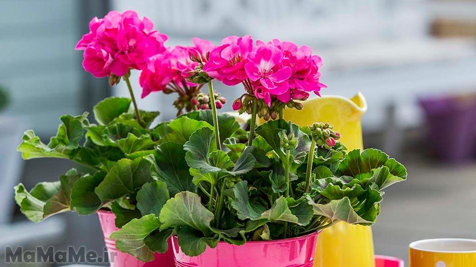 گل-شمعدانی